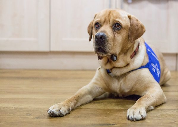 Dog Given up by Owners Becomes an Assistance Dog, Just Look at Him Now!