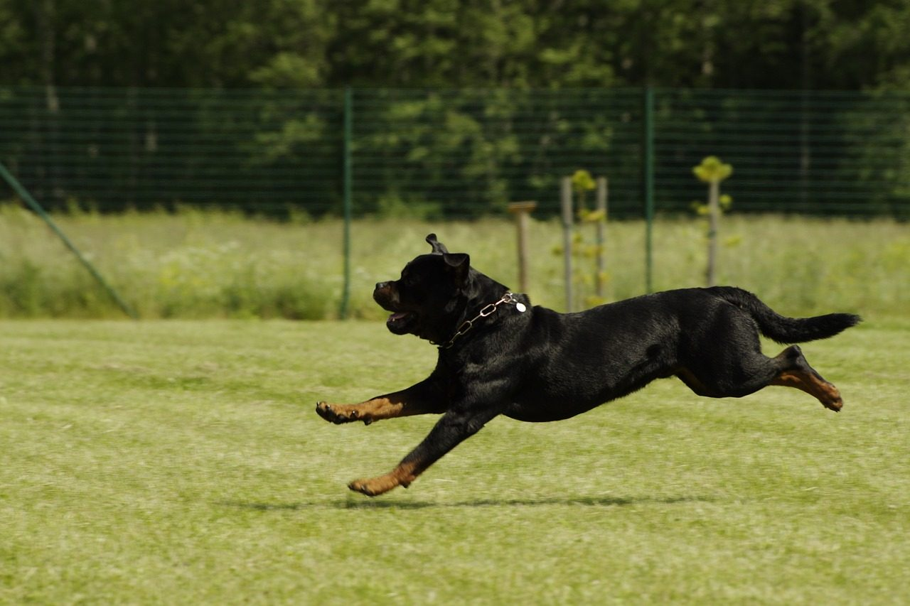 """""""People Don't Want Undocked Rottweilers"""", Says Breeder Who Lost Court Case"""