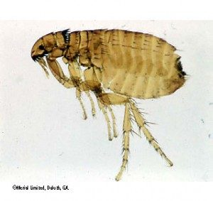 The Problem With Fleas In Summer