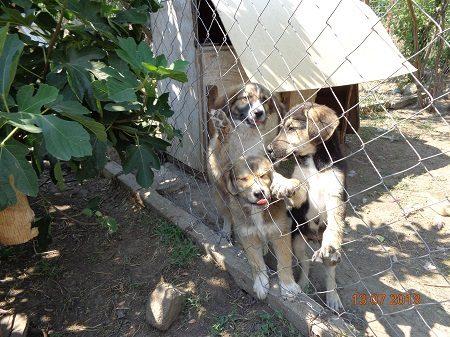 Litter of puppies Bulgaria
