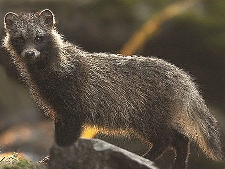 Our Canine Cousins: The Raccoon Dog