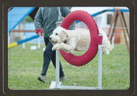 So You Want To Do Canine Agility? (It's Not as Hard as You Thought)