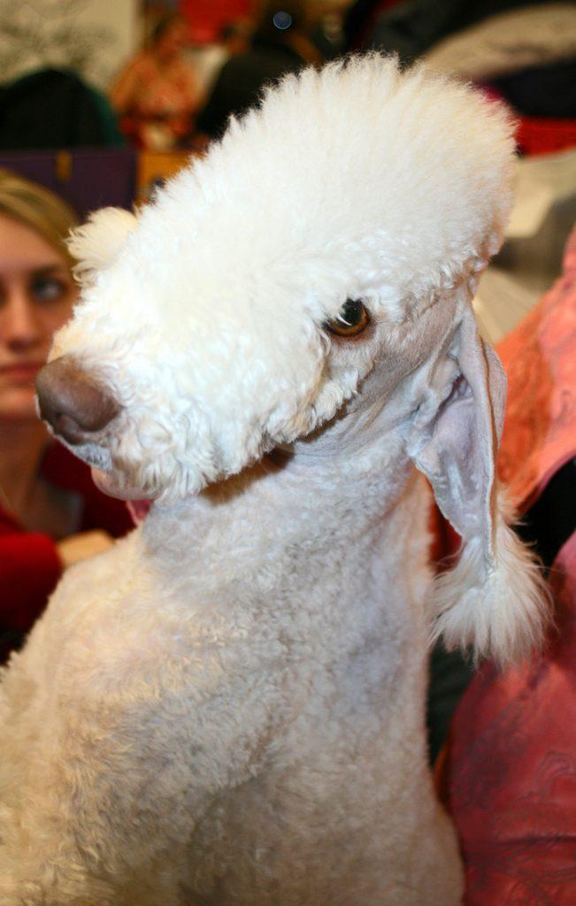 bedlington terrier photo
