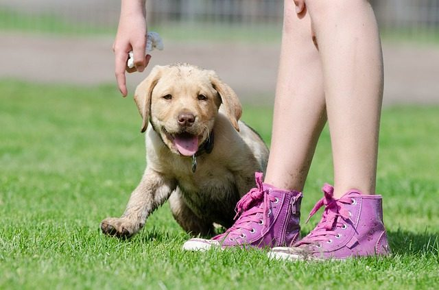 7 Reasons Labradors Rule