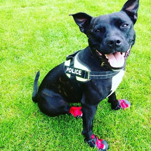 This Dog Was Once Abandoned, Now She's an Award Winning Police Search Dog