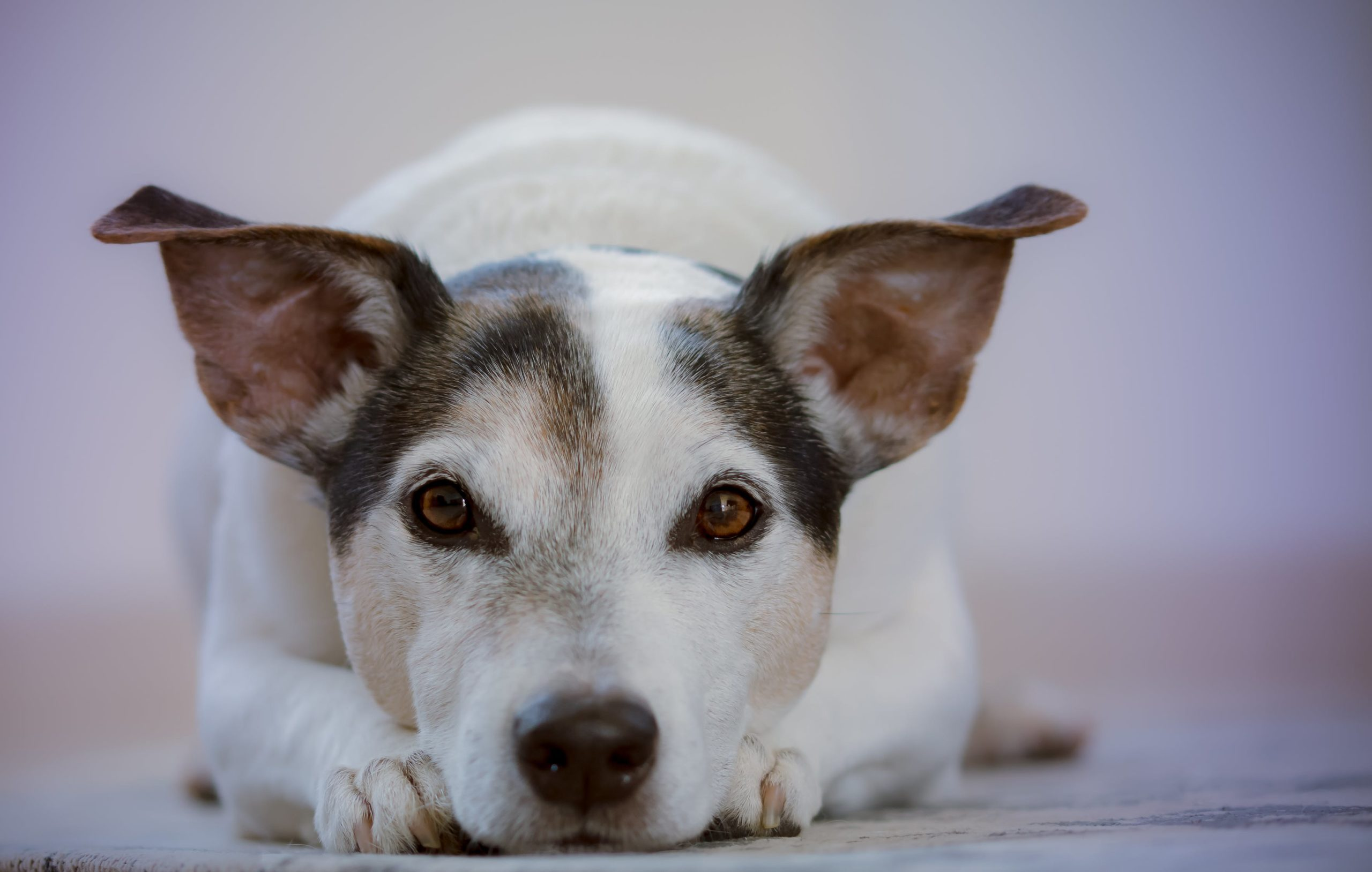 Coronavirus in Dogs: Can Dogs Get Coronavirus?