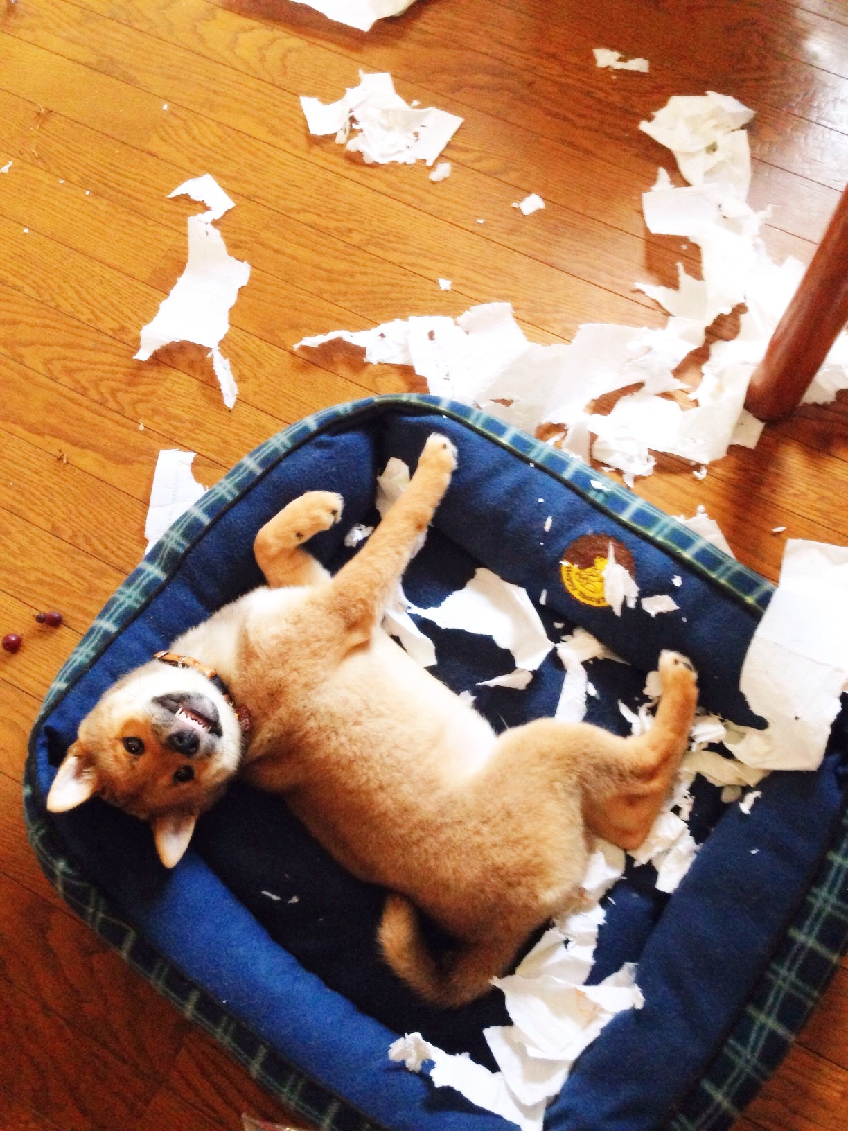 dog anxiety manifested in destruction