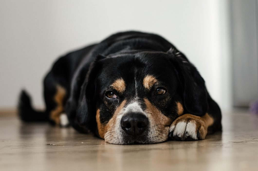 Will A Raw Diet Help My Dog Lose Weight?