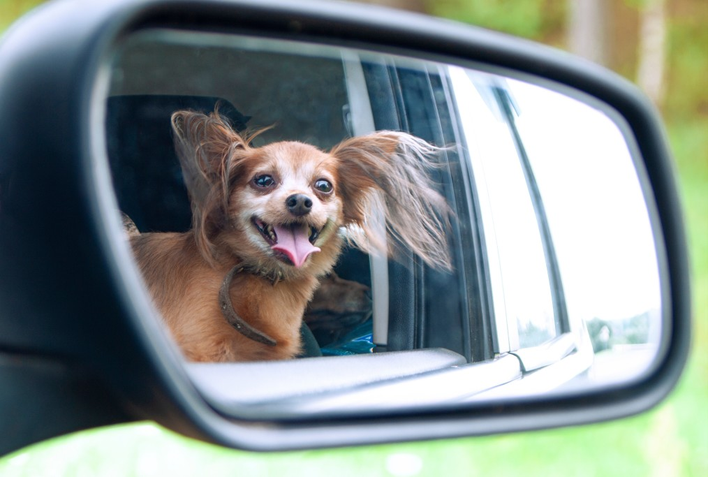 Why Do Dogs Stick Their Head Out of the Car Window?