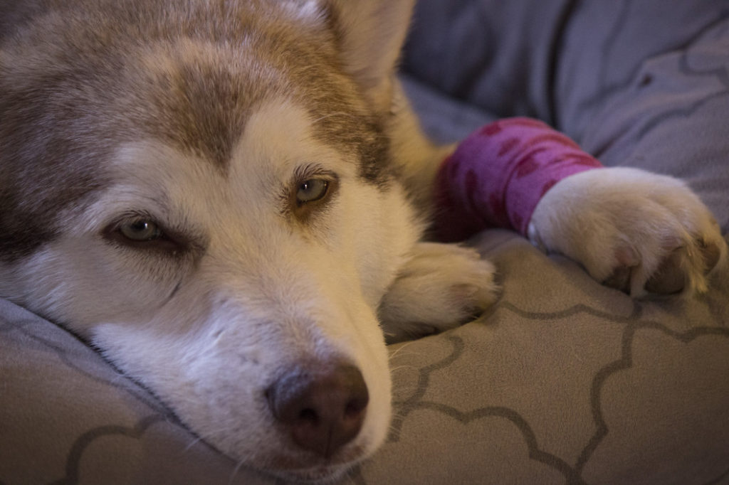 Luxated Patella in Dogs: In Depth Health Guide