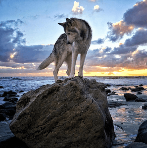 This Colorado Wolfdog Will Have You Questioning Your Life Goals!