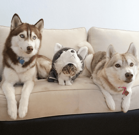 Meet the Cat Raised by Huskies Who Thinks She's a Dog