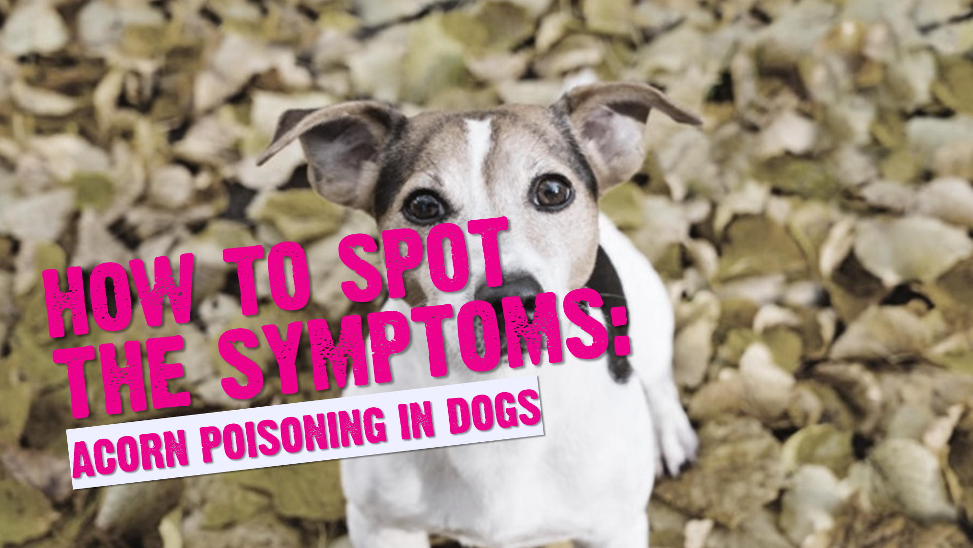 Acorns & Dogs (Symptoms of Acorn Poisoning in Dogs)