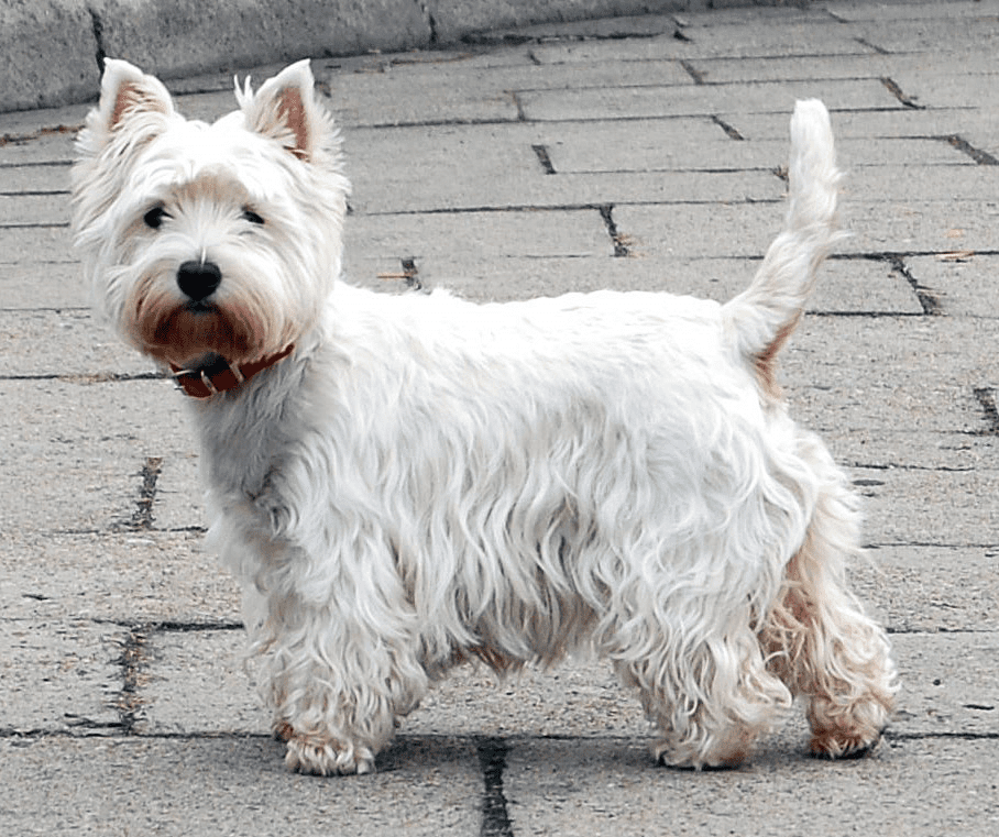 Why Do Dogs Wag Their Tails?
