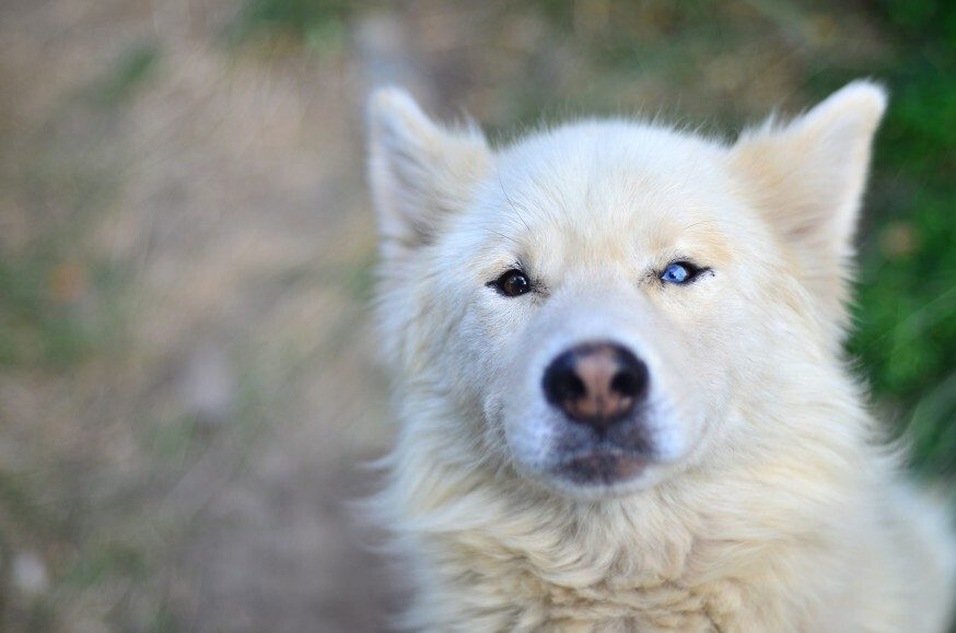 Why Do Some Dogs Have Different Coloured Eyes? (Heterochromia Explained)