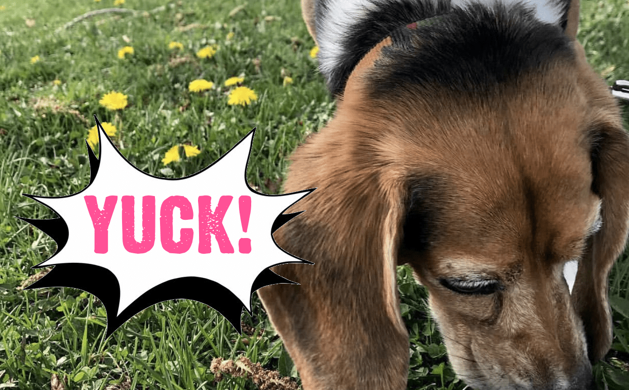 Why Do Dogs Eat Poop? (And 3 Easy Ways To Stop It)