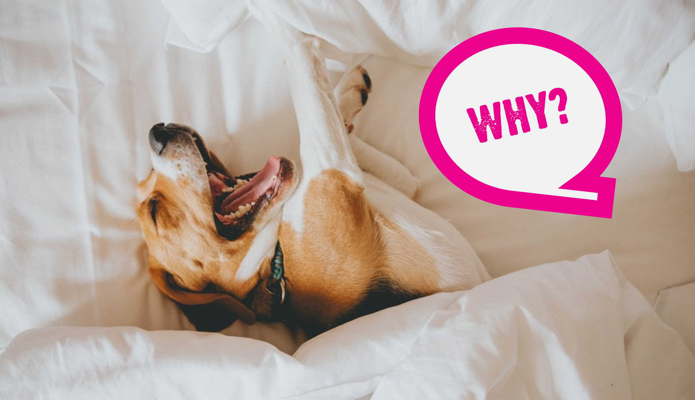 Why Do Dogs Do That Thing They Do? (FAQs For Dog Owners)